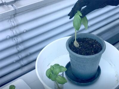バジル苗の植え付け-バジル苗を植え付ける
