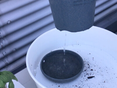バジル苗の植え付け-水は鉢底から流れ出るくらい